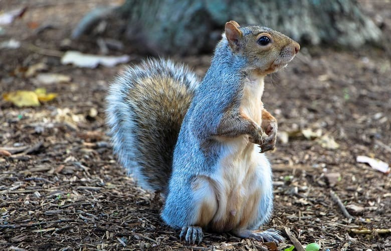Can You Eat Squirrel from Your Backyard?