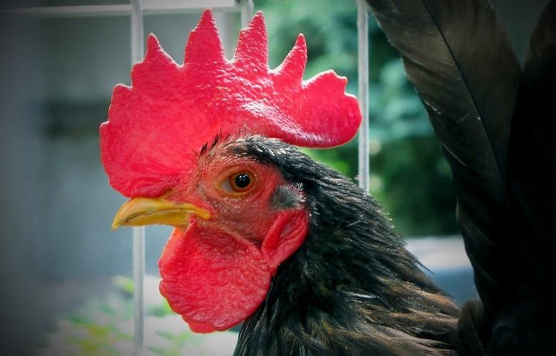 Serama Chickens for Sale