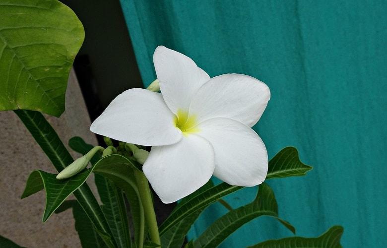 Best fiddle leaf fig fertilizer